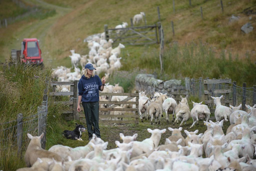 Julie Hill ist Schäferin und trainiert gemeinsam mit ihrem Partner Bob Henderson seit über 30 Jahren Border Collies. Für viele Schäfer in Schottland wäre die Arbeit ohne die Hunde unmöglich.